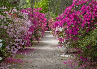 Azaleas in Magnolia Plantation and Gardens